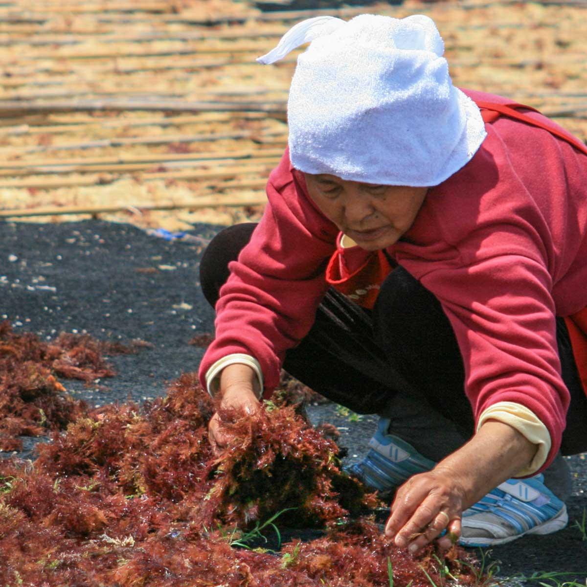 伊豆天草の収穫