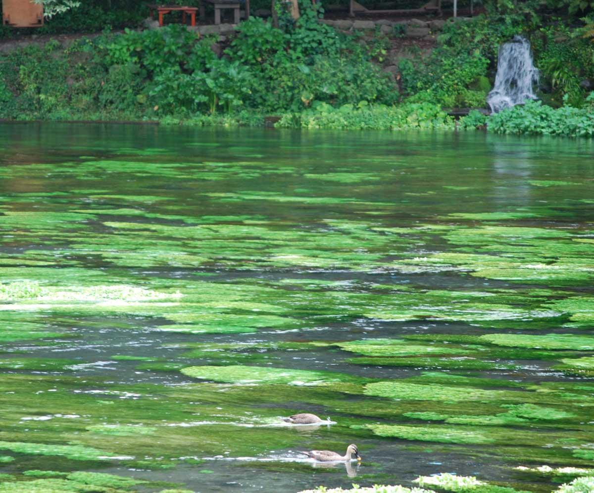 ミシマバイカモ 三島梅花藻